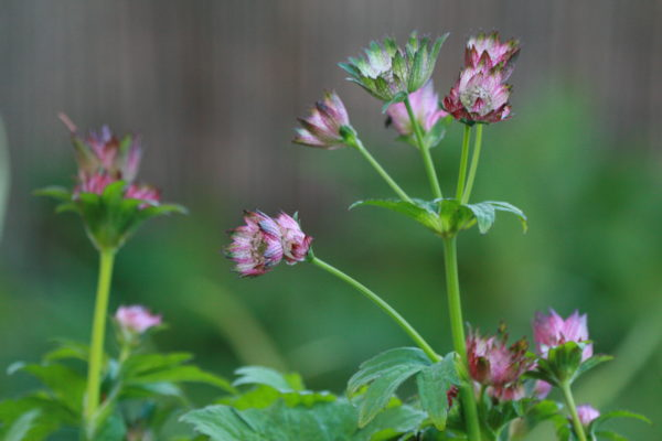 Astrantia-April-Love-5226