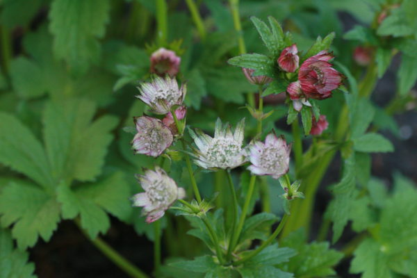 Astrantia-April-Love-5227
