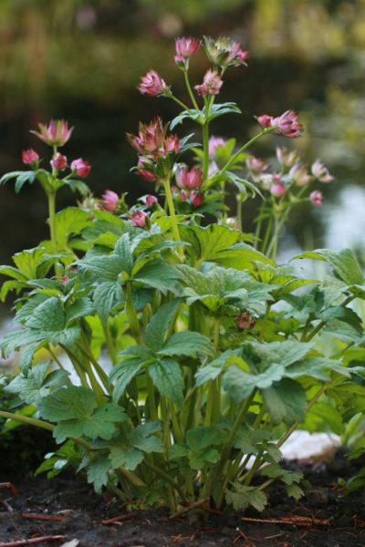 Astrantia-April-Love-5234
